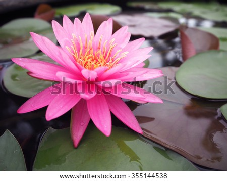 beautiful lotus flower stock photo   shutterstock, Beautiful flower
