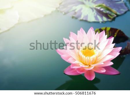 beautiful lotus flower