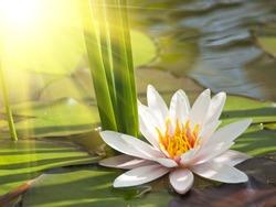 beautiful lotus flower background