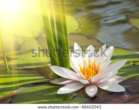 beautiful lotus flower background