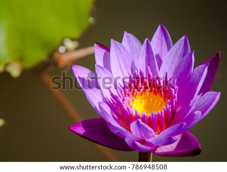 Beautiful lotus flower is the symbol of the buddha thailand ez beautiful lotus flower is the symbol of the buddha thailand mightylinksfo