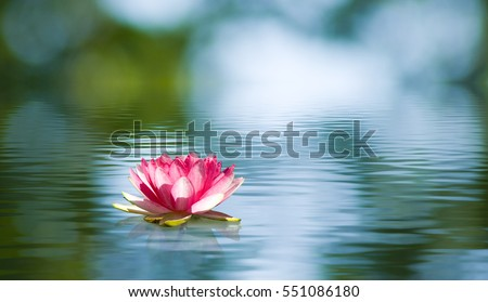 Beautiful lotus flower on the water in a park close-up.