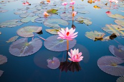 beautiful lotus flower outdoor
