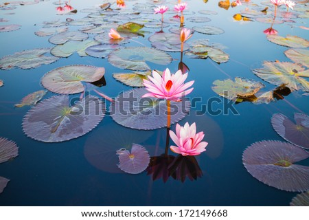 beautiful lotus flower outdoor