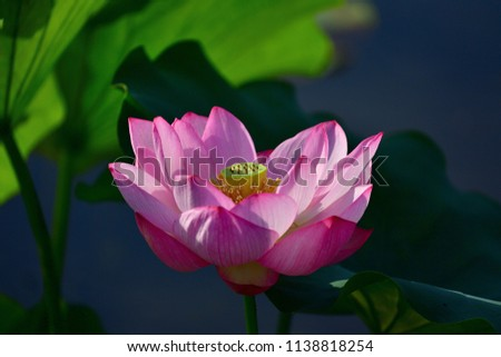 Beautiful Lotus flower shining in the light that past the best time a little