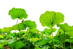 Beautiful lotus leaf background in the pond