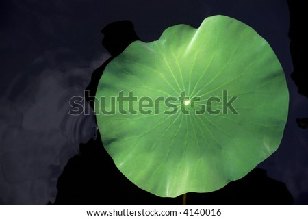 beautiful lotus leaf touches calm water