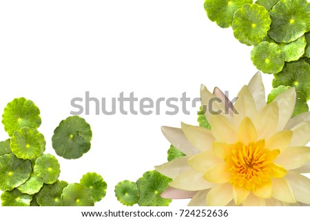 Beautiful Lotus with Centella asiatica on a white background.