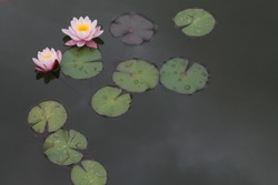 Beautiful lotuses floating in the green wild pond