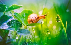 Beautiful lovely snail in grass with morning dew, macro, soft focus. Grass and clover leaves in droplets of water in spring summer nature. Amazingly cute artistic image of pure nature.