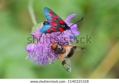 Beautiful Low DOF close-up view in full length on butterfly to Zygaena filipendulae (Six-spot burnet) butterfly resting on the flower along fly on a sunny day in Latvia