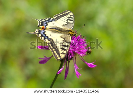 Beautiful Low DOF close-up view in full length with selective focus on butterfly to Papilio Machaon (Old World swallowtail) (common yellow swallowtail) butterfly resting on the flower along fly on a s