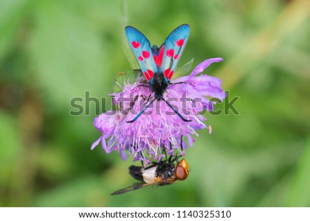 Beautiful Low DOF close-up view in full length with selective focus on butterfly to Zygaena filipendulae (Six-spot burnet) butterfly resting on the flower along fly on a sunny day in Latvia