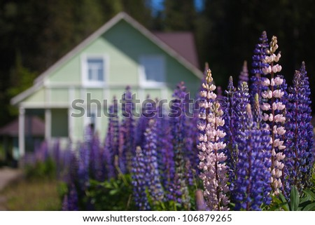 Beautiful lupins in the garden near the cottage