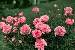 beautiful lush bush of peonies in the summer garden. flowers of unreal pink color. beautiful natural background.