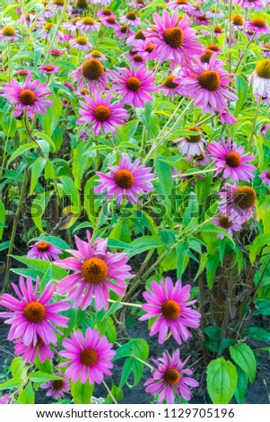 Beautiful lush lush purple flowers with an orange core and green leaves #1129705196