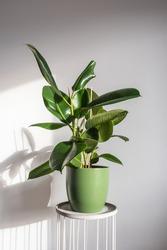 Beautiful lush shiny ficus elastica robusta in a green decorative pot. Trending houseplants