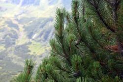 Beautiful lush spruce in the Carpathians