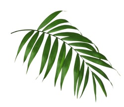 Beautiful lush tropical leaf isolated on white