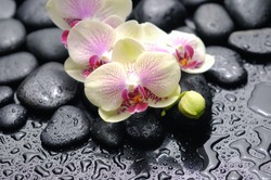 beautiful lying on branch orchid with drops on black stones background closeup