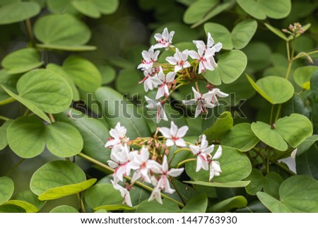 Beautiful Lysiphyllum hookeri plant,commonly call including Alibangbang,Hooker's bauhinia,white bauhinia,mountain ebony and Queensland ebony. #1447763930