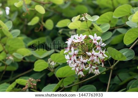 Beautiful Lysiphyllum hookeri plant,commonly call including Alibangbang,Hooker's bauhinia,white bauhinia,mountain ebony and Queensland ebony. #1447763933