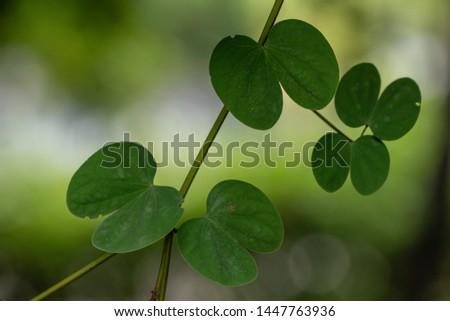 Beautiful Lysiphyllum hookeri plant,commonly call including Alibangbang,Hooker's bauhinia,white bauhinia,mountain ebony and Queensland ebony. #1447763936