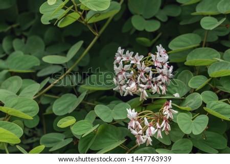 Beautiful Lysiphyllum hookeri plant,commonly call including Alibangbang,Hooker's bauhinia,white bauhinia,mountain ebony and Queensland ebony. #1447763939