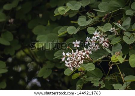 Beautiful Lysiphyllum hookeri plant,commonly call including Alibangbang,Hooker's bauhinia,white bauhinia,mountain ebony and Queensland ebony. #1449211763