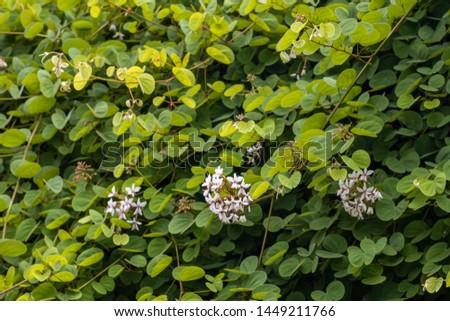 Beautiful Lysiphyllum hookeri plant,commonly call including Alibangbang,Hooker's bauhinia,white bauhinia,mountain ebony and Queensland ebony. #1449211766