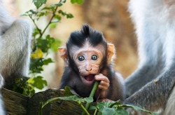 beautiful macaque baby discovering Ubud forest in Monkey forest, Bali Indonesia