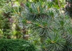 Beautiful macro of original two-tone green and silvery pine needles of Japanese pine Pinus parviflora Glauca. Nature concept for design with copy space