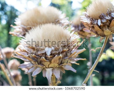 Beautiful macro photo of dried flowers of the Cynara cardunculus (artishoke). #1068702590