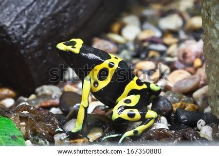 Beautiful macro photo of poison dart frog