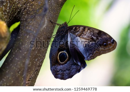 Beautiful macro picture of a butterfly, Caligo memnon, also knowed as the Giant Owl. Place of Origin is Costa Rica, Central American.