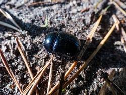 Beautiful macro shot of glossy and colorful Spring dor beetle - Geotrupes vernalis
