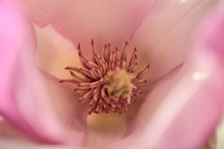 Beautiful macro view of pink Chinese saucer magnolia (Magnolia Soulangeana) tree blossoms tepals and carpels blooming on university campus, Dublin, Ireland. Soft and selective focus