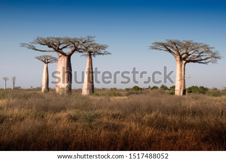 Beautiful Madagascar Baobab.  Madagascar. Africa