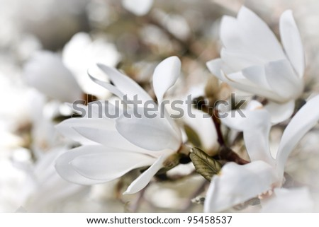 Beautiful magnolia blossom close up