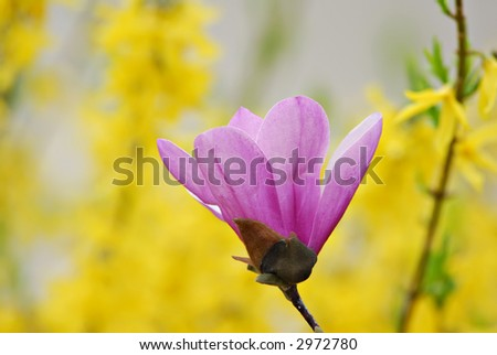 Beautiful magnolia blossom with a vibrant yellow background.
