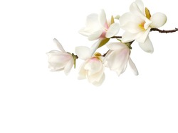 Beautiful magnolia flower bouquet isolated on white background.