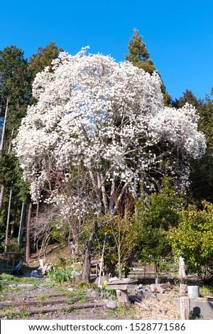 Beautiful Magnolia kobus tree, also known as mokryeon, kobus magnolia, or kobushi magnolia, is a species of Magnolia native to Japan (Kyushu, Honshu, and Hokkaido) and Korea.