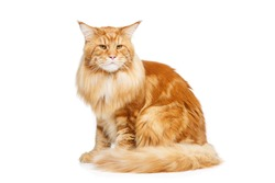 Beautiful maine coon cat