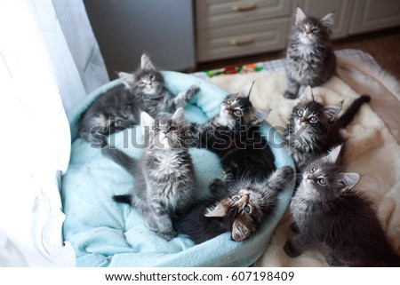 Beautiful Maine Coon kittens blue and black colored lying in a cat's blue sofa #607198409