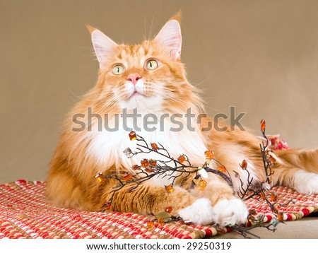 Beautiful Maine Coon on red carpet playing with brown crystals - stock photo