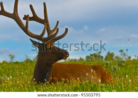 Beautiful Majestic Wild Male Elk in Yellowstone National Park - stock photo