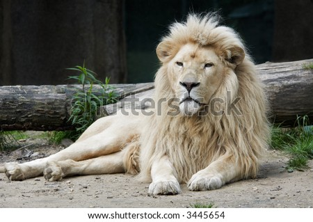 stock photo : beautiful male african white lion