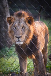 beautiful male Asiatic lion Panthera leo leo in jungle forest looking standing behind fence