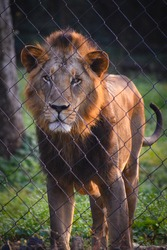 beautiful male Asiatic lion Panthera leo leo in jungle forest standing behind fence