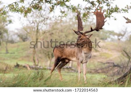 Beautiful male deer (dama dama) on soft background